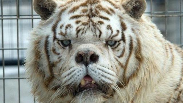 海沧动物园跑出来的老虎咋被控制的