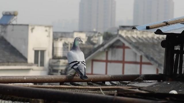 小偷多次光顾,居民百羽信鸽遭盗光
