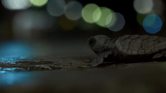 BBC纪录小海龟之死:城市光当月光