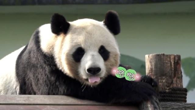 想摸一把!全球最萌大熊猫都在这了