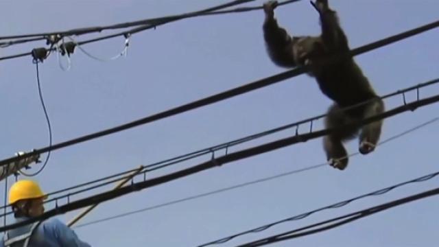 大猩猩逃出动物园,在电线荡秋千!