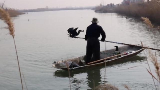 画面罕见!看马踏湖上渔夫放鹰捕鱼