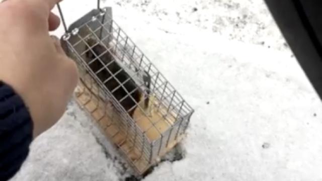 惨!倒霉的老鼠刚刚放生就被车轧死