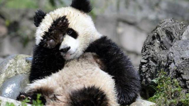 专业摔娃!女神节的熊猫麻麻不能惹