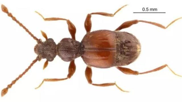 上海发现新物种:西郊公园毛角蚁甲