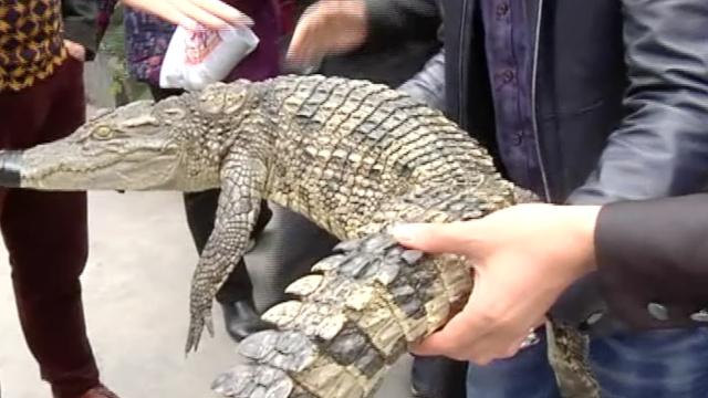 他养鳄鱼几百条,是烹饪鳄鱼肉高手