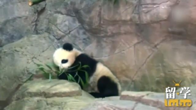 熊猫宝宝回国啦 赚了几千万