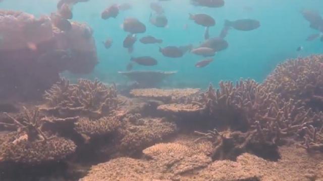 大堡礁再现白化,遭遇严重生存危机