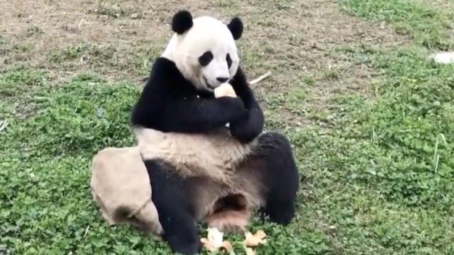 挨个嗅树桩!海归熊猫占领豪华别墅