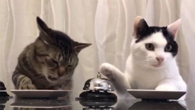 会自己点餐的别人家的猫咪