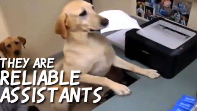 两只宠物狗在电脑前办公