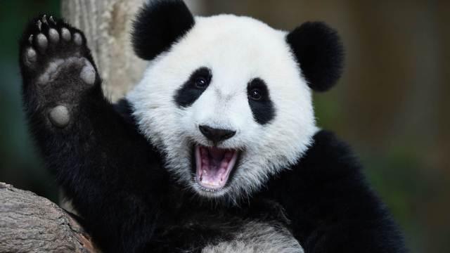 熊猫受荷兰人热捧,住所耗资5千万