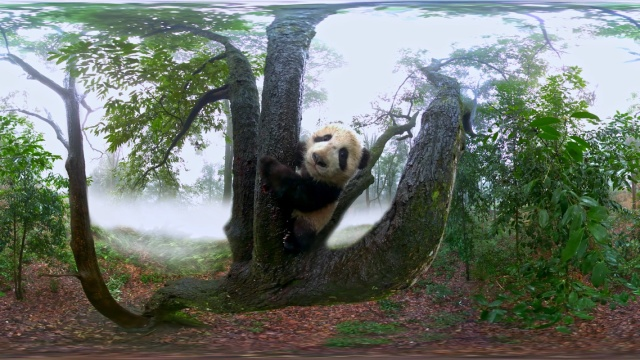VR镜头里的大熊猫,萌出了新高度