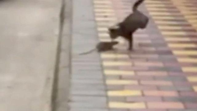 喵界的耻辱!它被老鼠追着跑