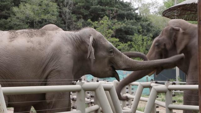 大象1家3口年龄近百,象爸爸会特技