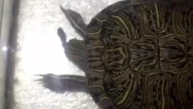 单身龟对屎发情,手速惊人!