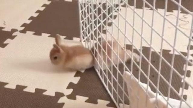 胖是假象,兔子可是越狱的一把好手
