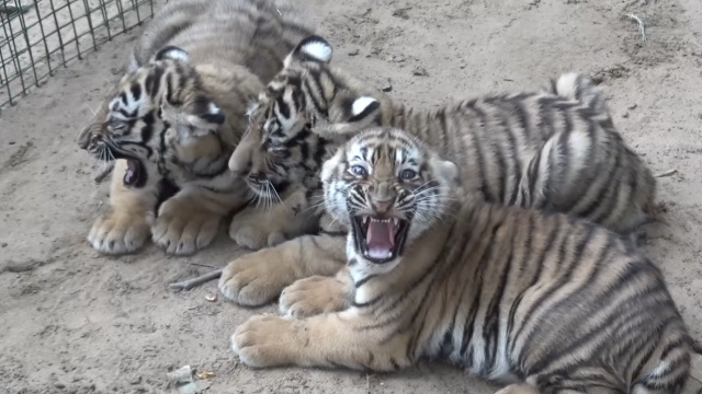 3胞胎虎崽爱吃肉,