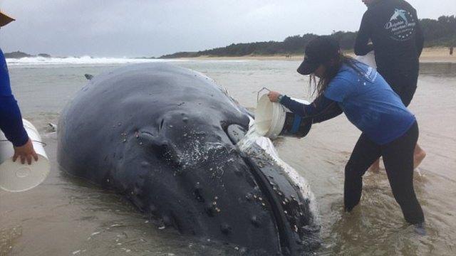座头鲸搁浅澳海滩,救援者彻夜浇水