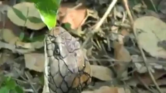 眼镜蛇脱水,印度男子冒险为其喂水