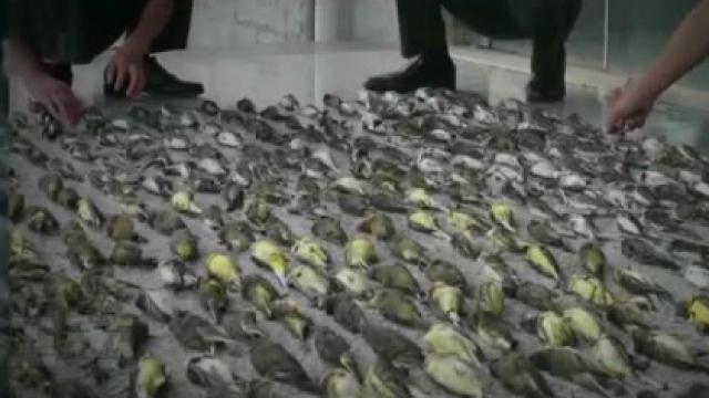 无辜鸟类遭毒手月黑风高凶手是谁?