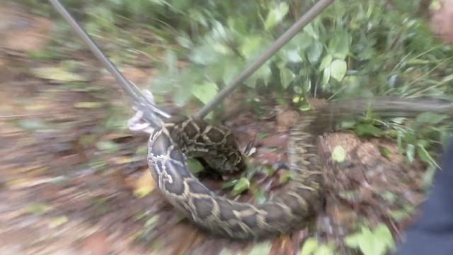 蟒蛇夜袭养蜂场,机警狗狗喊醒主人