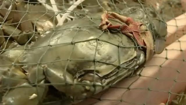 无良商!916斤青蟹,绳子重304斤