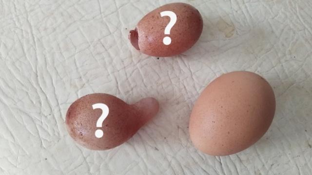 怪事!母鸡下2蛋,形似蘑菇蛋壳透明