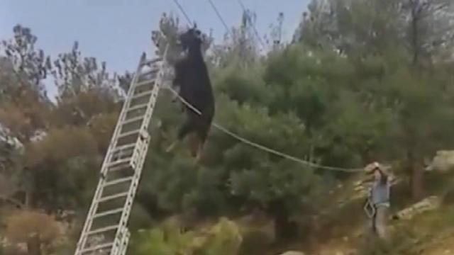 出羊相了,众人营救挂在电线上的羊
