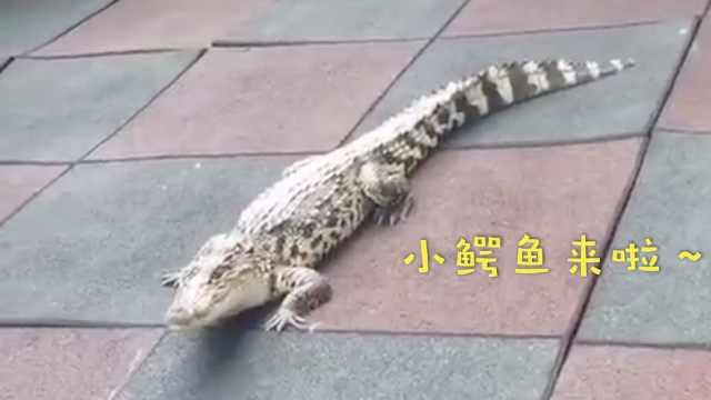鳄鱼掉落幼儿园,物业上门苦劝业主