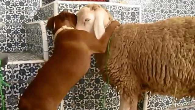 狗狗初见羊扑上去狂亲,羊一脸淡定