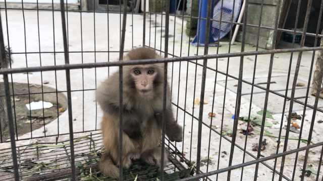 4只泼猴寄养村民家,好吃好喝供着