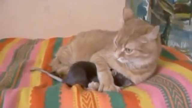 omg!这只老鼠居然躺在了猫的怀里