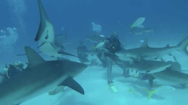 他水下喂鲨鱼,竟被数十条团团包围