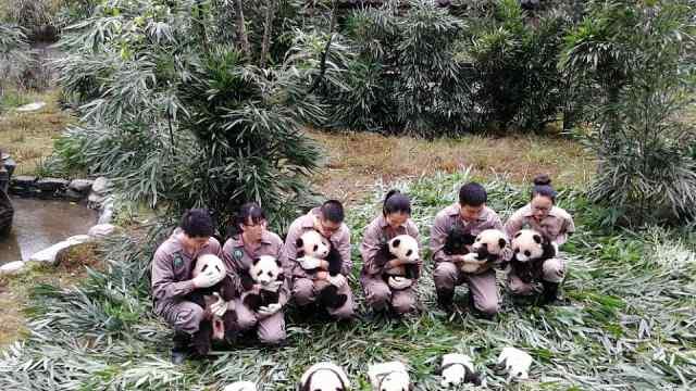 萌爆!2017年新生熊猫宝宝集中亮相