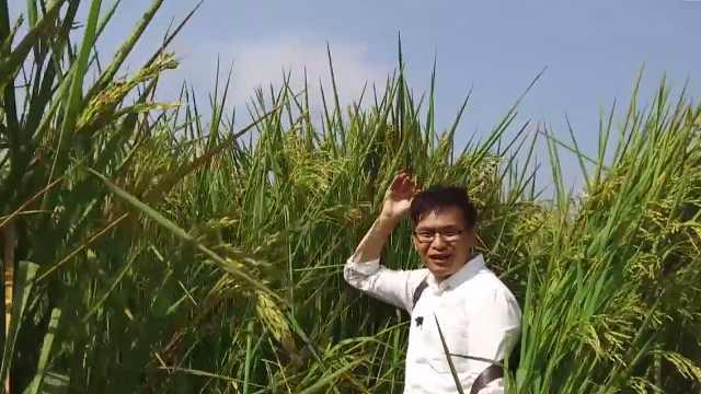 """""""巨人稻""""个头超2米"""