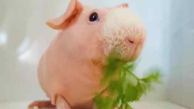 这是猪?还是老鼠?读书少不要骗我