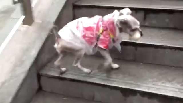 贴心主人!下雨天遛狗,自制狗雨衣
