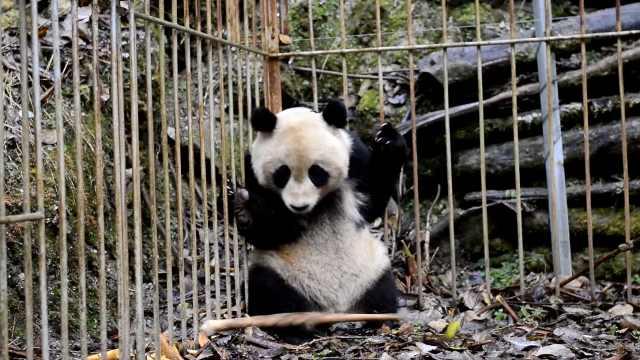 2大熊猫完成野化培训,将放归自然