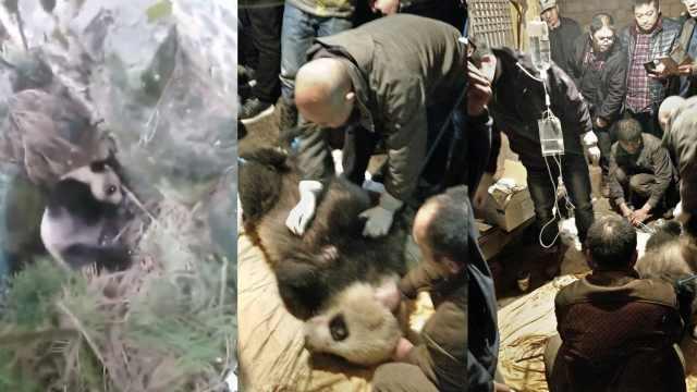 大熊猫疑似患病,跑进村民家求救