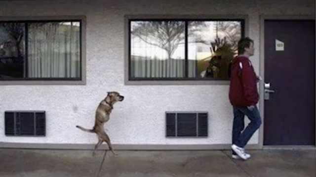 狗狗只有两条腿 却学会了直立行走