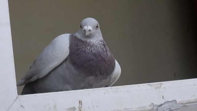 饥饿信鸽坠河受伤,飞进门卫室求助