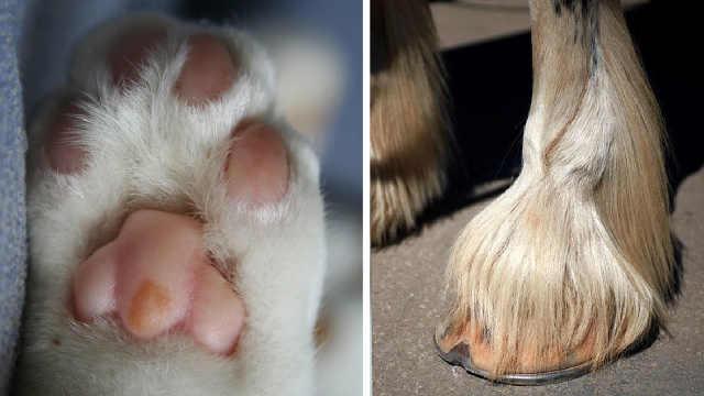 都是脚,为什么猫爪子软而马蹄子硬
