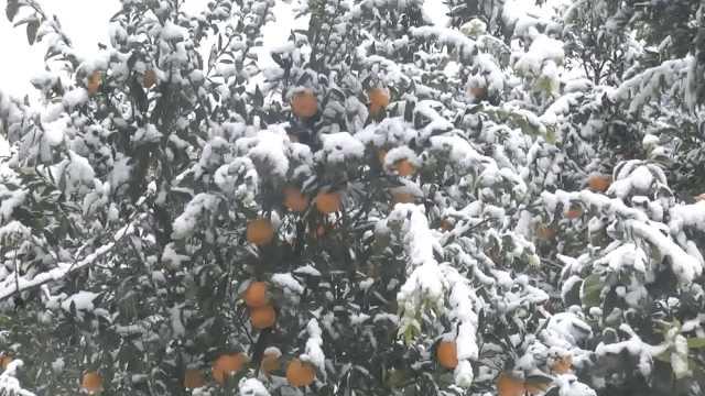 8千亩柑橘受冻,农艺师雪地生烟供暖