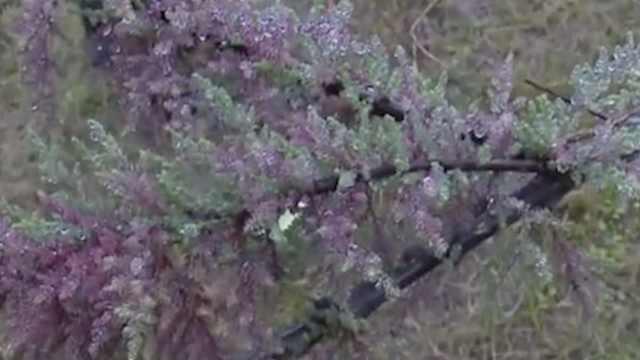 宜宾发现濒危灭绝物种疏花水柏枝