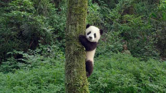 萌到哭!首部IMAX大熊猫纪录片出炉