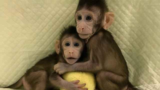 中国诞生克隆猴,迅速登上全球头条