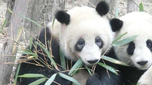 螨虫眼?成都大熊猫基地连夜回应