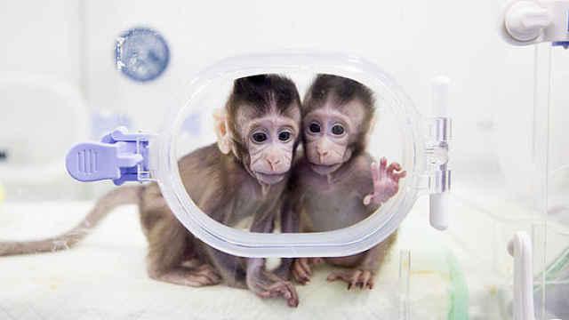克隆猴有伦理问题?要对社会有信心