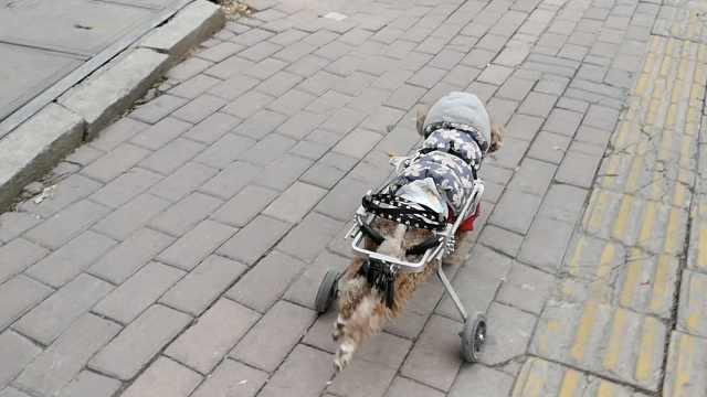 过分!瘫痪狗装轮椅飞奔,仗势欺狗